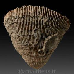 Placosmilia vidali - véritable fossile