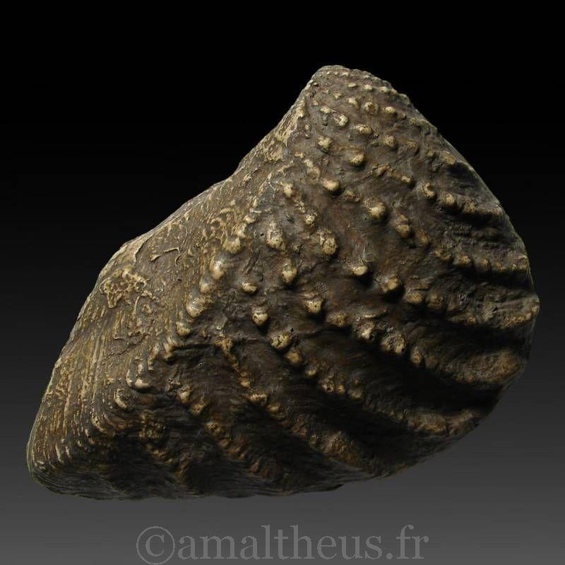 Trigonia clavellata - Moulage paléontologique