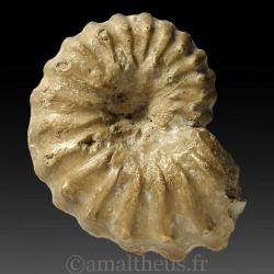 Acanthoceras rhotomagense - Moulage paléontologique.